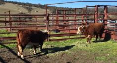 Stay over at Australian Miniature Herefords