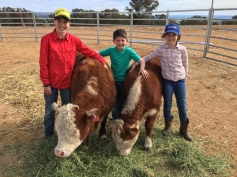 mini Herefords and their new family