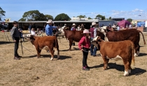 miniature-herefords-june2020-2