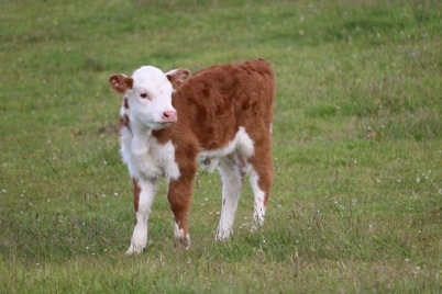 miniature-herefords-june2020-3