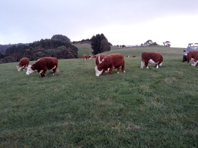 miniature-herefords-june2020-4
