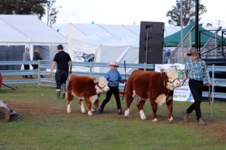 miniature-herefords-june2020-5